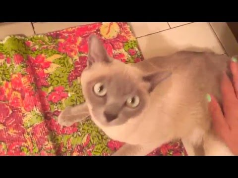 TONKINESE CAT TRICKS!! Emmy Doing the Rollover!!