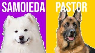 Pastor Alemão x Samoieda  Quem ganha essa batalha de cães?
