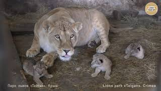 Львица Лола из Челябинска родила тройню. Lioness Lola from Chelyabinsk gave birth to triplets.