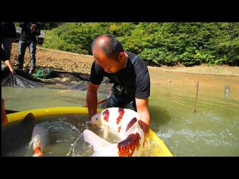 Huge Koi Fish | Jumbo Koi Carp Harvest
