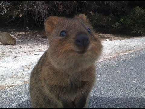 Quokka The Happiest Animal in the World - YouTube