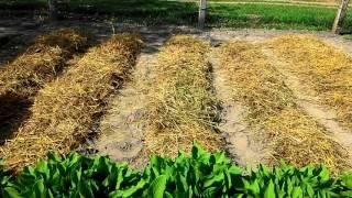 Посадка картофеля под солому(В этом видео речь пойдет о выращивании картофеля под соломой. На мой взгляд, такое выращивание экономит..., 2016-02-13T20:03:42.000Z)