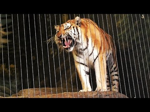 Siberian Tiger Roars at Lincoln Park Zoo