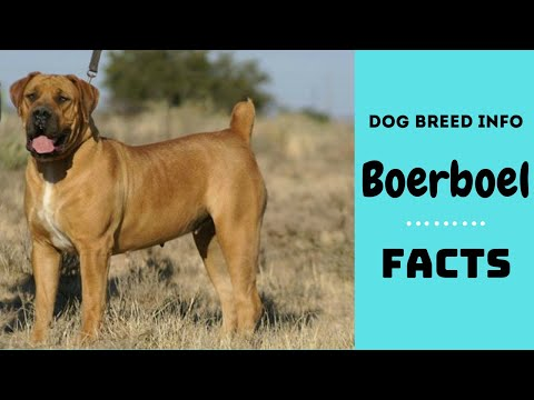 Boerboel dog breed. All breed characteristics and facts about Boerboel dogs