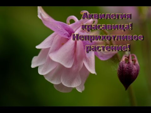 Аквилегия неприхотливое растение.  Цветение, сбор семян, размножение аквилегии.
