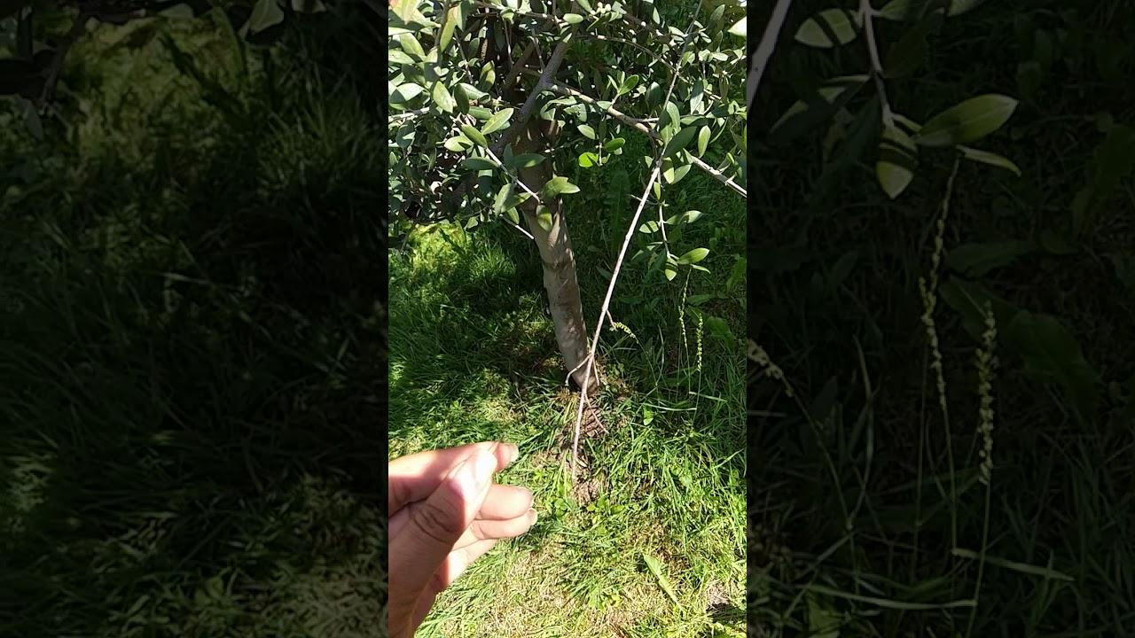 Prächtig Der erste Olivenbaum der Zentralschweiz trägt Früchte - YouTube @FC_91