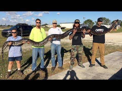 Record-Breaking 17-Foot Python Captured By Man's Bare Hands
