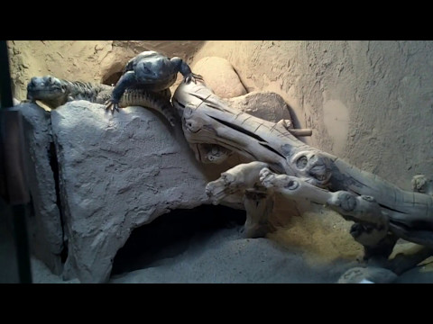 Erica Captures A Giant Uromastyx Lizard In Saudi Arabia