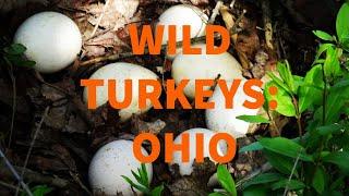 Wild Turkeys: Ohio
