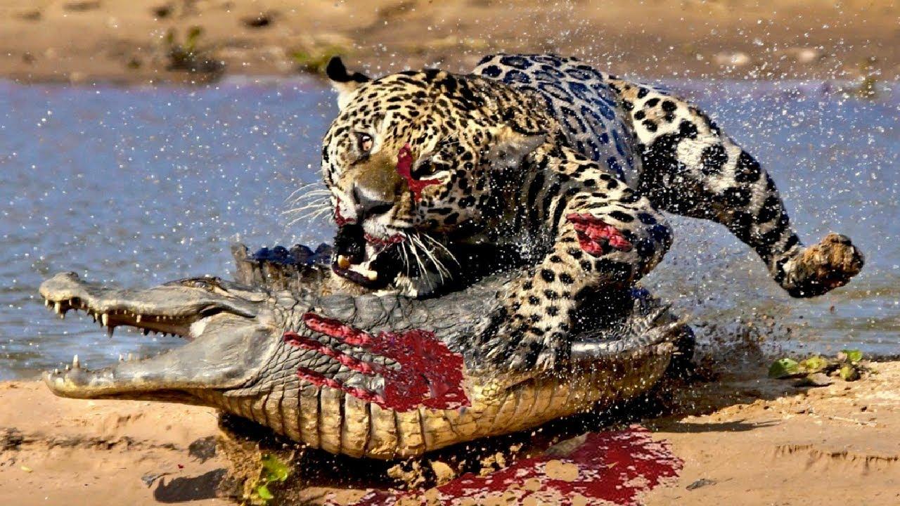 Wildlife Wild Animals Best Moment Leopard Lion Jaguar