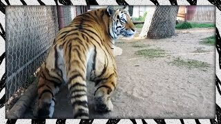 i-scared-the-crap-out-of-melita-frightened-tiger