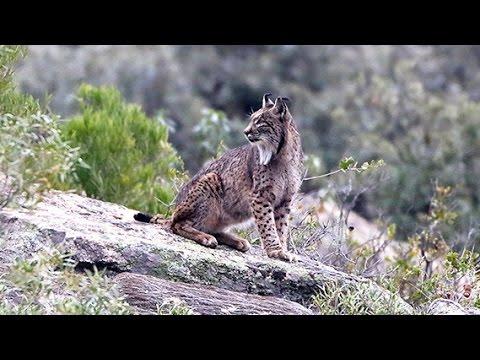 Flagra: Linces apanhados no ato * Iberian Lynx Mating