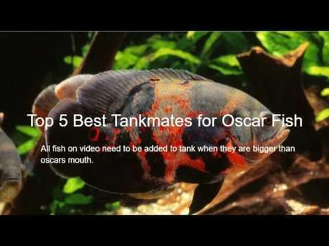 Top 5 Best Tankmates For Oscar Fish