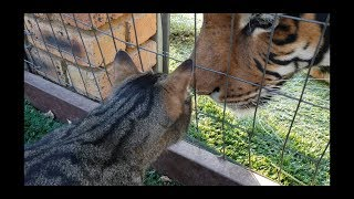 Cat sure can kiss the tiger on his nose !
