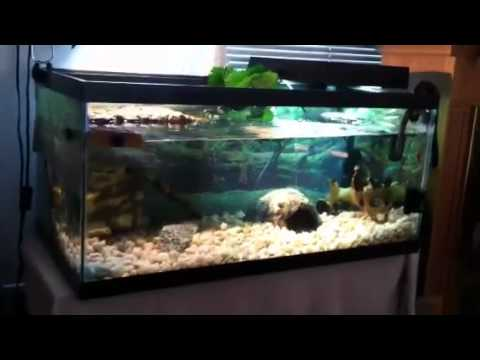 Turtle Tank 40 Gallon Breeder With Baby Turtles Hd Youtube