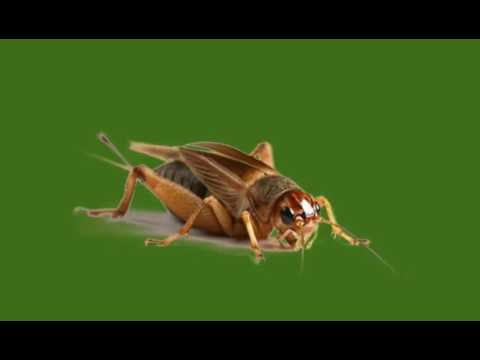 Cricket Noise | Sound Effects