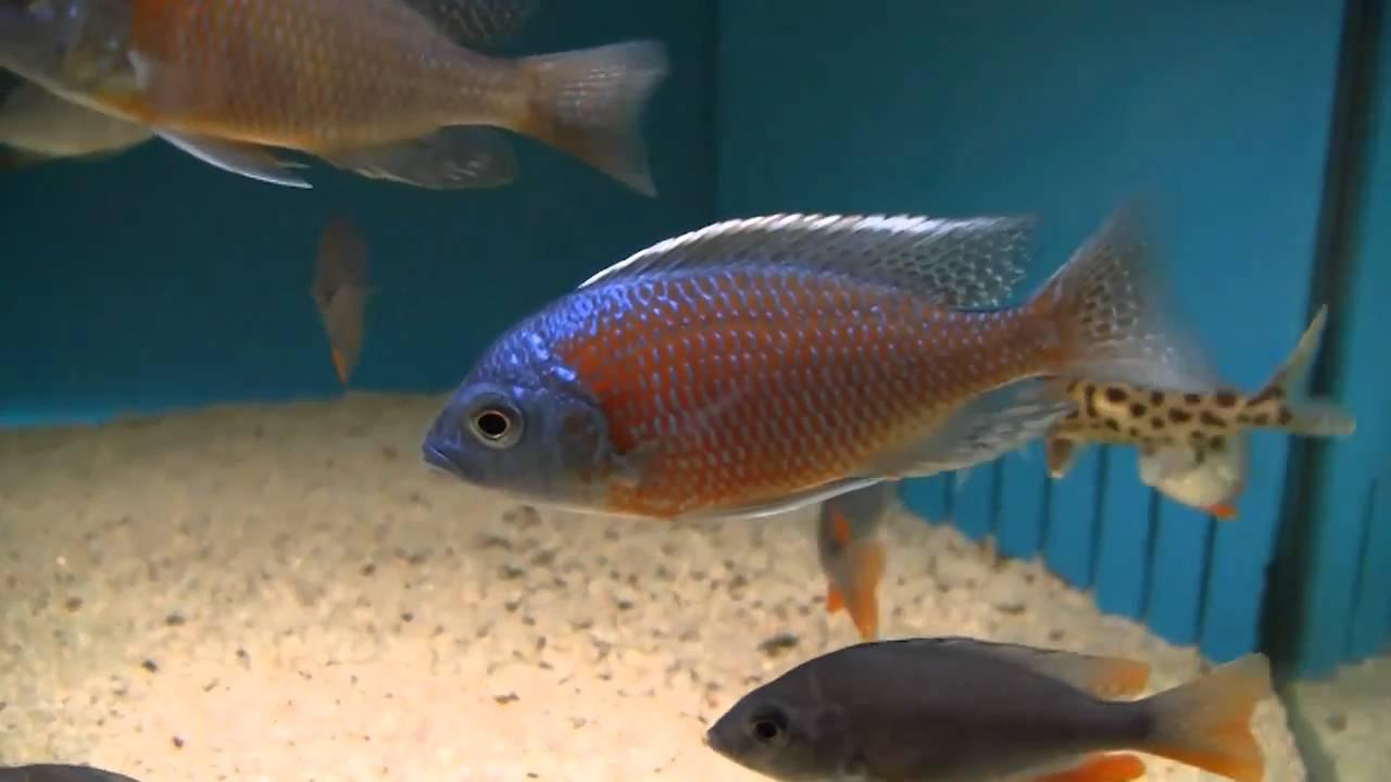 Freshwater aquarium fish uk - Freshwater Aquarium Fish Uk