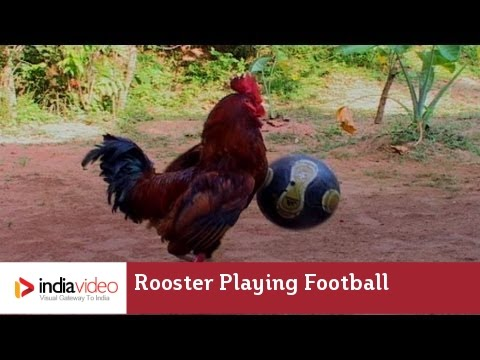 Eying World Cup? Get him in team - Football-playing Rooster