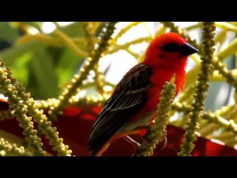 Cardinal oiseau.MOV