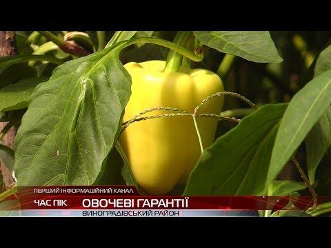 На Виноградівщині фермери збирають пізній урожай