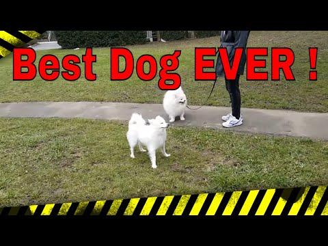 🚫american-eskimo-dog-.-my-best-friend🚫