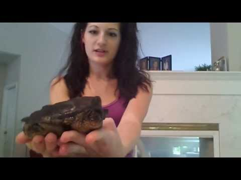 How to sex your snapping turtle