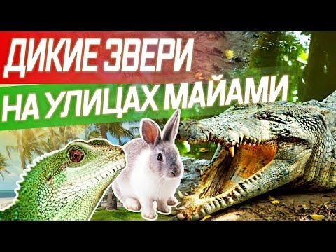 Крокодилы на улицах Майами / Как выйти из дома и выжить?