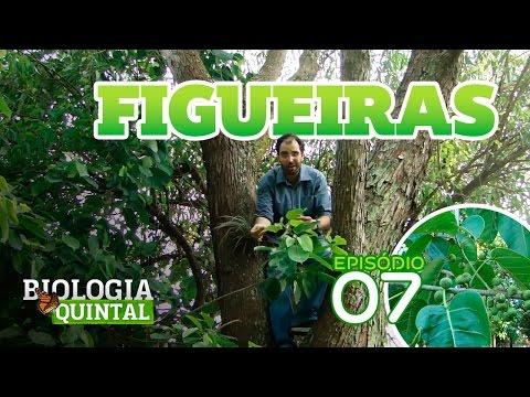 Biologia de Quintal - Figueira