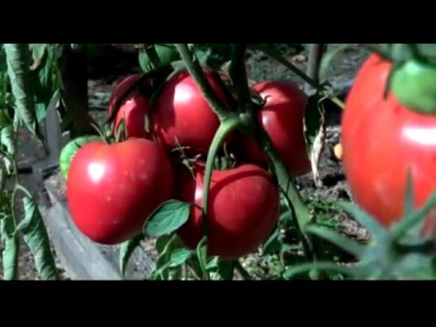 В гостях у коллекционера томатов