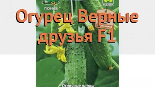 Огурец обыкновенный Верные друзья F1 🌿 обзор: как сажать, семена огурца Верные друзья F1