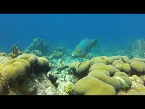 Queen Parrot Fish Showing Teeth