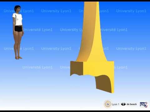 Le tibia et la fibula (le péroné)