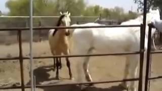 Размножение лошадей, animaux d'élevage breeding animals, спаривание животных