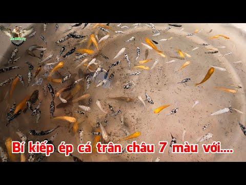 Anh Tuấn chia sẻ kinh nghiệm ép các dòng cá trân châu, 7 màu, bình tích ...│ymt63