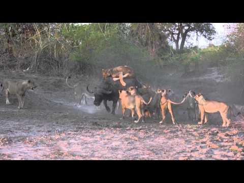 The Kill: 20 Lions Take One Buffalo