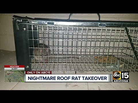 Roof rats crawling inside woman's walls in Scottsdale