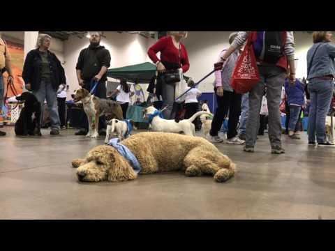 16 Month Old GoldenDoodle, Benson!  Golden Doodle Dog Training | Off Leash K9