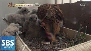 버림받은 새끼 황조롱 6남매 새엄마 찾았다 @TV동물농장 140525