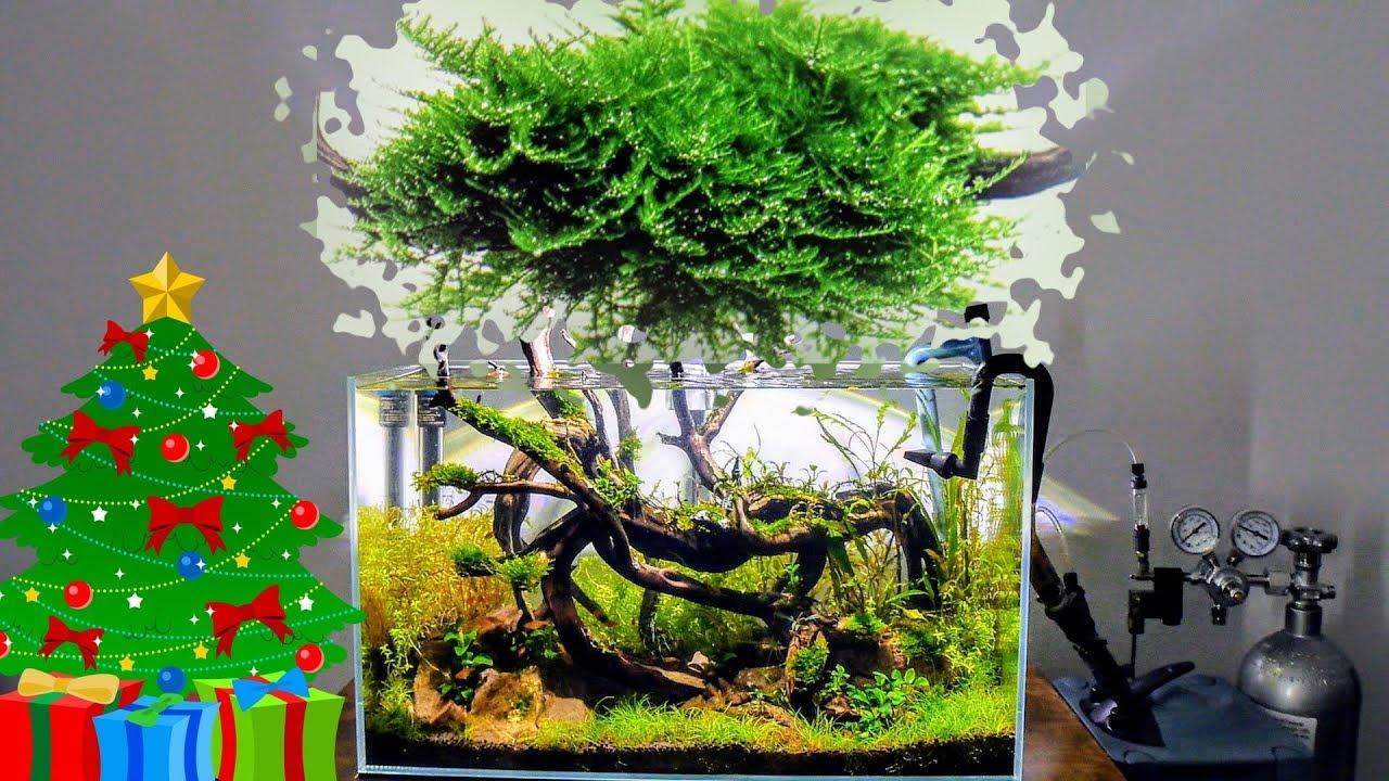 Christmas Moss Carpet.Mini Christmas Moss Care Guide Aquascaping