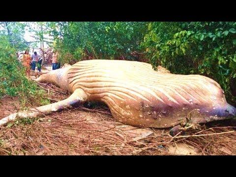 Allen Colon - Massive Humpback Whale found in jungle