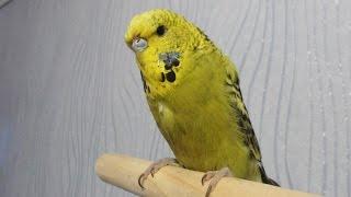 Выставочный волнистый попугай чех - Приручение