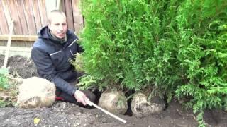 hecke pflanzen   thuja   erster heckenschnitt   tutorial   hd