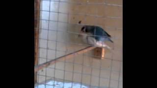lovebird kawin arizcanary