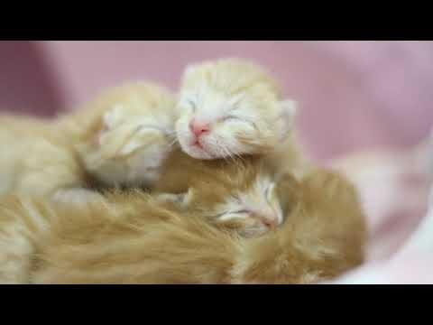 小橘猫出生第6天,眼睛还没睁,迷迷糊糊到处爬,很温馨很治愈!