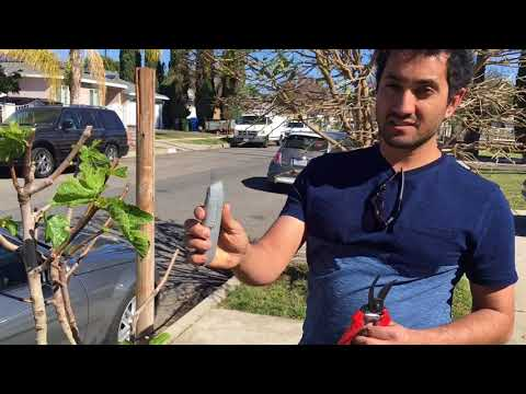 How To Graft Fig