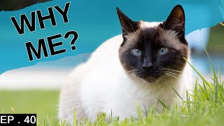 7 Reasons to adopt a Siamese Cat