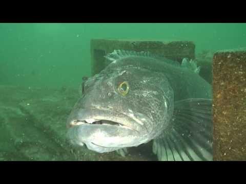 Seattle's Marker Buoy Dive Club at Edmonds U/W Park Feb 7, 2014