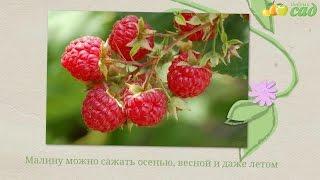 Посадка малины - как правильно посадить малину(Видео о правилах посадки саженцев малины. Узнайте как быстро и легко посадить малину на своем участке. Полу..., 2015-06-10T09:41:49.000Z)