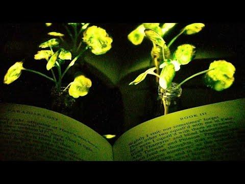 باحثون ينتجون نباتات مضيئة ويمكن شحنها • فرانس 24