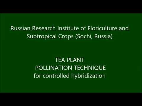 Camellia sinensis tea plant hybridization